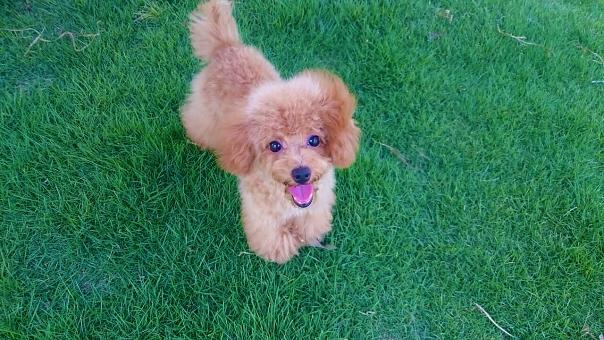 トイプードル プードル 犬 いぬ ペット 茶色 ドッグ ドック アプリコット こいぬ 子犬 かわいい 動物 生き物 ペットショップ トリミング ドッグラン 芝生 芝 緑 飼い犬 散歩 ふわふわ くりくり しっぽ 耳 舌