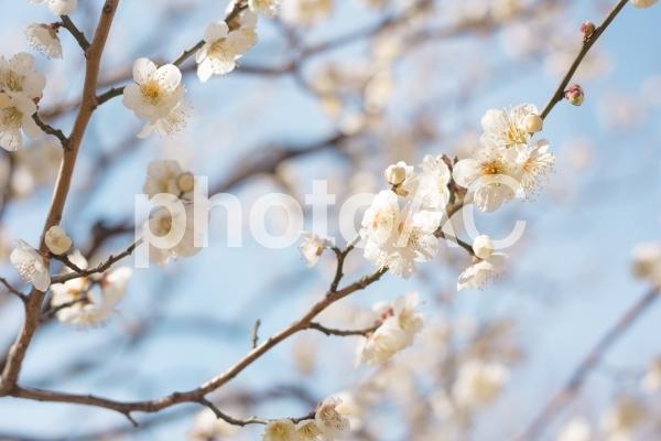 満開の白梅と蕾 春の空の写真