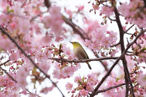サクラ 桜 さくら 桜の木 花 フラワー 春 3月 4月 季節の花 春の花 華やか ピンク 新学期 カレンダー カレンダー用写真 ピンクの花 風景 植物 花の木 花見 日本 日本の花 学校 入学式 公園 鳥 小鳥
