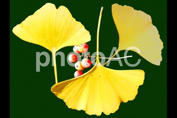 銀杏の葉 赤い実付き 切り抜きの写真