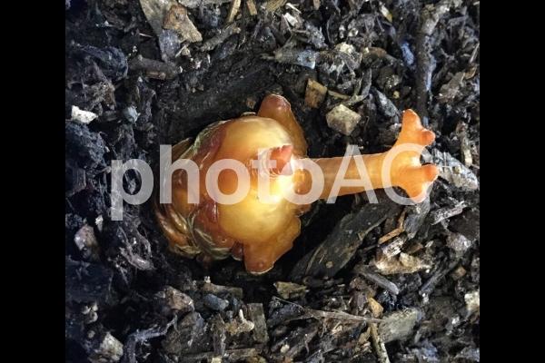 カブトムシ蛹の写真