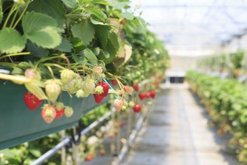 いちご イチゴ 苺 いちご狩り イチゴ狩り 苺狩り ハウス 果物 植物 春 実 収穫