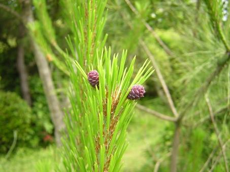 自然 風景 生物 植物 アカマツ 雌花 五色台 香川県
