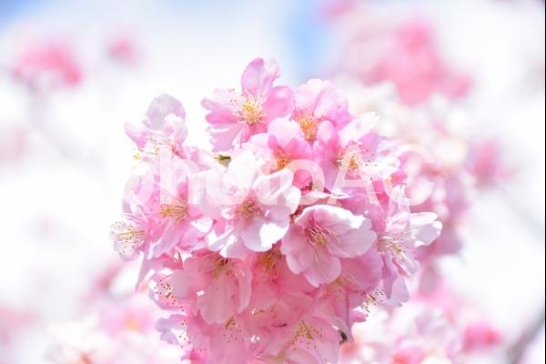 丸く咲いた河津桜の写真