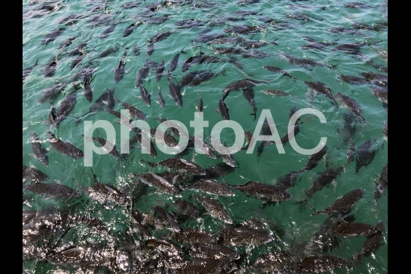 ハマチの大軍の写真
