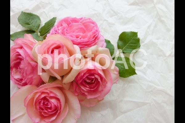 甘いピンクの薔薇10の写真