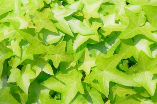 アイビー ヘデラ キヅタ つる つる性 一面 背景 背景素材 グリーン 黄緑 きみどり キミドリ 明るい 晴天 晴れ 日差し 陽射し バックグラウンド 葉 緑 葉っぱ 新緑 新緑イメージ グリーンイメージ 植物