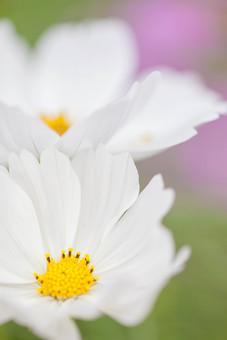 秋の風景 コスモス アキザクラ 秋桜 花びら 花弁 花畑 花園 白 黄色 アップ 接写 植物 花 草花 散歩 散策 自然 風景 景色 真心 のどか 鮮やか 美しい 綺麗 明るい ボケ味 ピントぼけ ぼかし