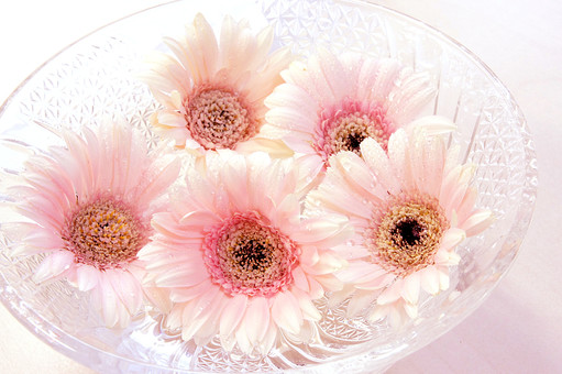 ガーベラ ピンク 花 植物 フラワー 種子植物 花弁 花びら 生花  葉 葉っぱ 希望 律儀 白 ホワイト 白い花 3月 4月 5月 9月 10月 11月 白背景 白バック ホワイトバック ガラス 器