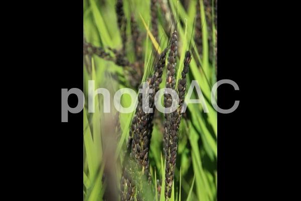 紫黒米の写真