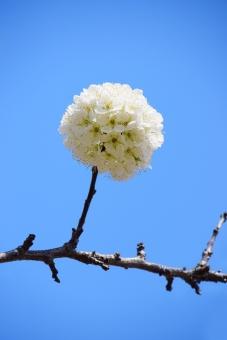 快晴 晴れ 季節 四季 春 満開 花 植物 バラ科 すもも スモモ 花びら 青 水色 白 白色 青色 丸 まる まるい 丸い 円い 円 球体 群生 かわいい 可愛い カワイイ