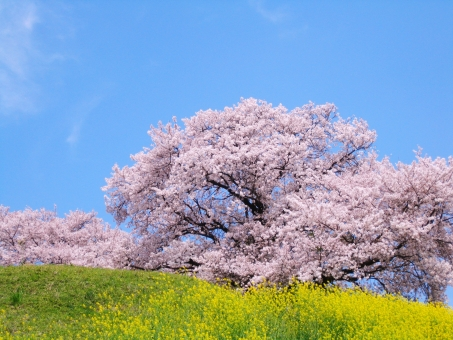 桜 さくら サクラ 菜の花 なの花 花 はな 空 青空 あおぞら そら 春 はる ナノハナ 青 ピンク マゼンダ 黄 緑 みどり ミドリ グリーン 油菜 アブラナ 木 コピースペース