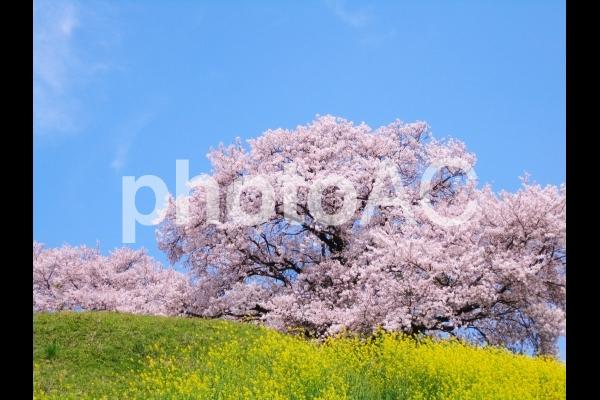 菜の花と桜の写真