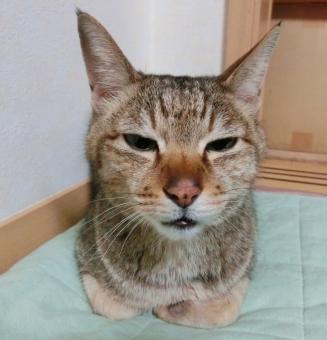 猫 ネコ 顔 表情 アップ 眠い 睡魔 しらける 興味なし 半目 座る 寝る やる気なし 退屈 つまらない 家猫 飼い猫 室内猫 うとうと ペット 細目 悩む 考え事 考え中 う~ん 悩み事 生きもの かわいい ちゃこ 無関心