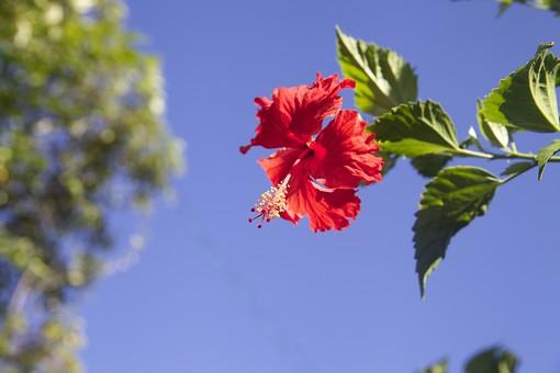 沖縄 ハイビスカス 花 葉 自然 フラワー 8月 夏 ハワイ リゾート 旅行 植物 南国 一日花 赤 緑 青 空 髪飾り 首飾り レイ アカバナー 亜熱帯 防風林 仏桑花 庭 沖縄市の花 ハワイの州花 スーダンの国花 マレーシアの国花 一輪
