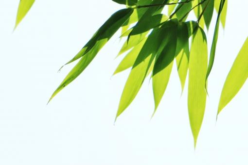 笹 笹の葉 葉 緑 緑色 植物 癒し 自然 風景 晴れ 背景 涼しさ 涼