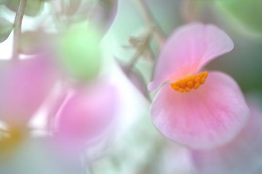 自然・風景 植物 花 豆の花 エンドウ豆 ピンク色の花 春 春イメージ 新緑 若葉 新芽 光を浴びて 光溢れる 光透過光 パステルカラー 待ち受け画面 ポストカード コピースペース 背景 野外アウトドア バックスペース みずみずしい ハイキーカラー ほんわか かわいい きれい エコ・環境 季節感 新鮮な