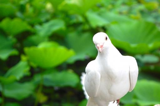 白 鳩 ピジョン Pigeon ハス 蓮 蓮池 池 青 緑 葉っぱ 平和 シンボル 使者 ポッポ 背景 テクスチャー 鳥 とり 飛ぶ ポーズ えさ 餌 かわいい ポーズ