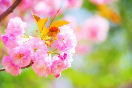 桜 櫻 サクラ さくら 八重桜 ヤエザクラ 春 ピンク 緑 花 植物 樹木 バラ科 背景 入学式 卒業式 卒園式 入園式 門出 きれい