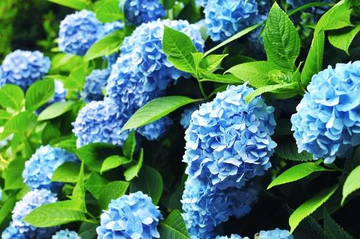 初夏 夏 6月 六月 梅雨 アジサイ あじさい 紫陽花 ガクアジサイ 花 植物 自然 葉 緑 新緑 アントシアニン hydrangea 青 淡青 ブルー blue