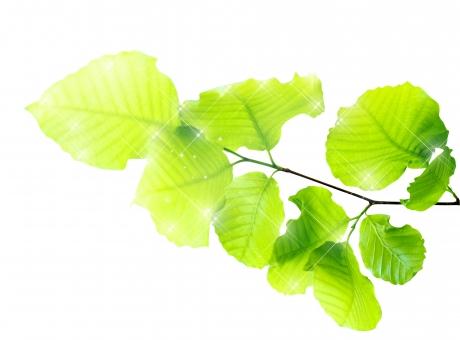 ブナ ぶな 山毛欅 山毛欅林 ブナ林 ぶな林 葉っぱ 木の葉 木葉 はっぱ 木の枝 小枝 自然 風景 木 樹木 森 植物 緑 グリーン エコ エコロジー 環境 eco eco eco 森林 森林浴 森林セラピー 癒し いやし リラックス リラクゼーション やすらぎ 安らぎ 葉 マイナスイオン 健康 美容 ワンポイント 切り抜き きりぬき 背景白 パス マスク クリッピングパス アクセント 飾り 5月 夏 緑 春 初夏 癒し きらめき キラメキ 優しさ やさしい 優しい 光 輝き キラキラ イメージ