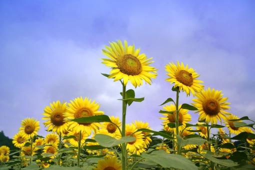季節 夏 ひまわり ヒマワリ 向日葵 空 青空 花 植物 黄色 黄 イエロー サンフラワー 太陽 ひまわり油 種 景色 風景 自然 ひまわり畑 緑 グリーン