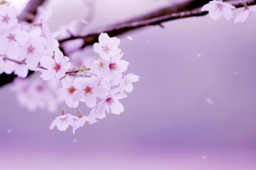 桜 サクラ の写真