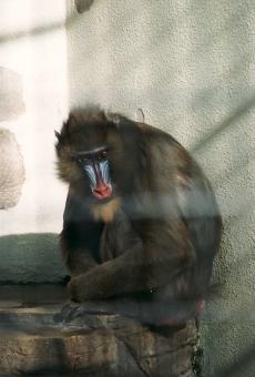 satochi サトチ サル 猿 申 monkey ヒヒ 動物 animal 動物園 zoo 天王寺動物園 天王寺 osaka 大阪 マンドリル まんどりる mandrill どうぶつ ドウブツ どうぶつえん ドウブツエン てんのうじどうぶつえん てんのうじ テンノウジ tennouji tennoji おおさか オオサカ