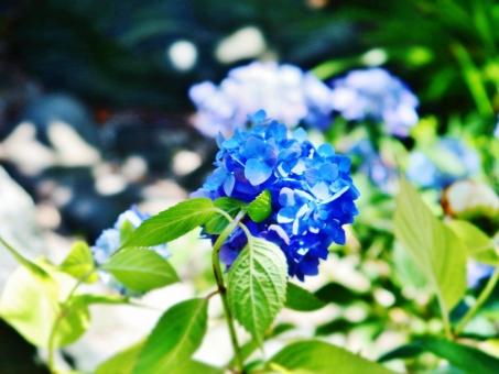 紫陽花 あじさい アジサイ 花 植物 梅雨 青 陽だまり 水無月