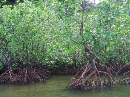 マングローブ林 マングローブ 自然 エコ 南国 タイ 東南アジア 植物 木 熱帯 熱帯雨林 川 河 カヤック 根 観光 ツアー 旅 旅行