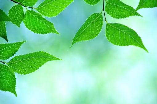 自然・風景 植物 樹木 木の葉 葉っぱ 新緑 若葉 新芽 初夏 夏 五月・六月 七月・八月 グリーンバック 森・林・公園 新鮮な 光を浴びて 光溢れる 光透過光 待ち受け画面 ポストカード コピースペース 背景 野外アウトドア エコ・環境 バックグランド バックスペース 季節感