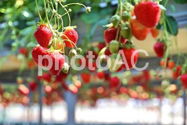 高設栽培のいちごの写真