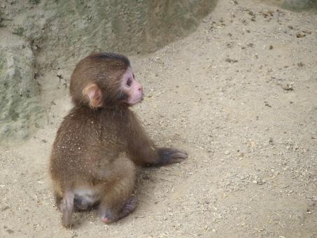 子猿 子供 赤ちゃん サル 猿 さる 日本猿 にほんざる ニホンザル 申年 干支 年賀状 年賀 かわいい 動物 生き物 哺乳類 屋外