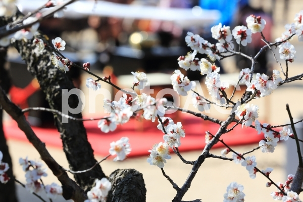梅の花の写真