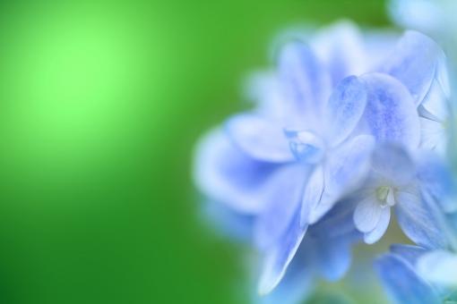 自然 植物 花 あじさい 紫陽花 夏 初夏 夏の花 梅雨 梅雨時の花 雨に咲く花 雨の似合う花 雨上がり 背景 テクスチャー 季節感 暑中見舞い ポストカード 待ち受け画像 コピースペース バックスペース 森 林 公園 野山 ガーデン 庭園 庭 花壇 山道 野外アウトドア 光透過光 エコ・環境 六月・七月の花 みずみずしい 七夕 夏の風物詩 新緑 若葉 新芽