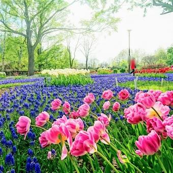 公園のチューリップの写真