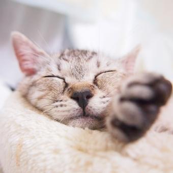 猫 ねこ ネコ 寝顔 動物 ペット 生き物 癒し アップ 一匹 スヤスヤ 眠る 寝る 愛おしい 家猫 飼い猫 室内