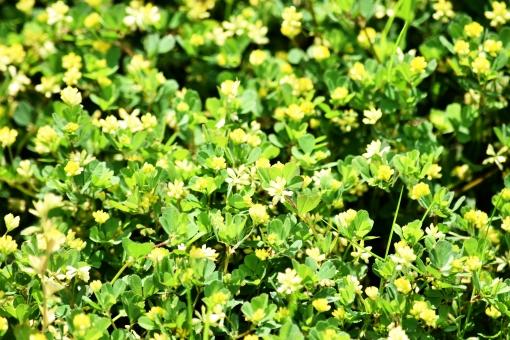 新緑 しんりょく 3月 4月 5月 6月 葉 葉っぱ 緑 黄緑 みどり きみどり 自然 綺麗 爽やか 見上げる 人気 植物 樹木 新鮮 森 林 公園 グリーン 暖かい 季節 若草色 若葉 木洩れ日 木漏れ日 こもれび 明るい 気分 最高 気持ちが良い 空気 クリーン 森林浴 背景 テクスチャ 壁紙 バックグラウンド ヒーリング リラックス 癒し マイナスイオン 初夏 リラクゼーション セラピー エコ eco アップ 接写 至近距離 小さな花 黄色い花 ミニチュア風 可愛い かわいい 花 小花 黄色 小さい 雑草 陰 かげ 影 木陰 涼しい 春 夏 秋