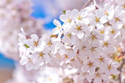 さくら 桜 サクラ 植物 木 花 春 ソメイヨシノ 満開