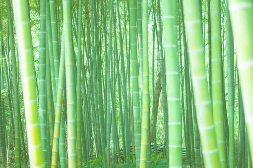 自然 植物 木 樹木 竹 バンブー 竹林 林 森 森林 成長 伸びる 育つ 高い 葉 葉っぱ 緑 密集 多い 集まる 沢山 並ぶ アップ 無人 室外 屋外 風景 景色 加工