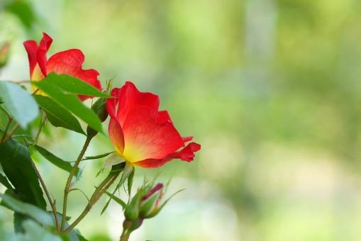 かわいい 可愛い みどり ミドリ 5月 6月 5月 6月 グリーン 葉 葉っぱ 背景画像 背景写真 屋外 戸外 バラ ばら 薔薇 赤 晴れ 自然 風景 景色 春 初夏 新緑 アロマ カクテル コピースペース テキストスペース 植物 きれい 綺麗 美しい うつくしい 美容 イメージ 壁紙 10月 花 背景 背景素材 明るい 緑 エステ
