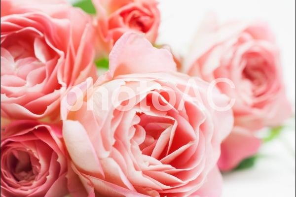 柔らかなピンクのバラの写真
