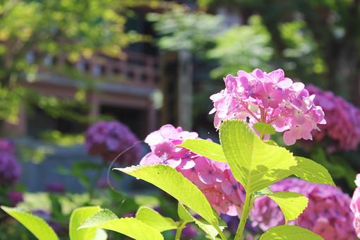 智積院 京都 寺院 寺 紫陽花 あじさい アジサイ 植物 花