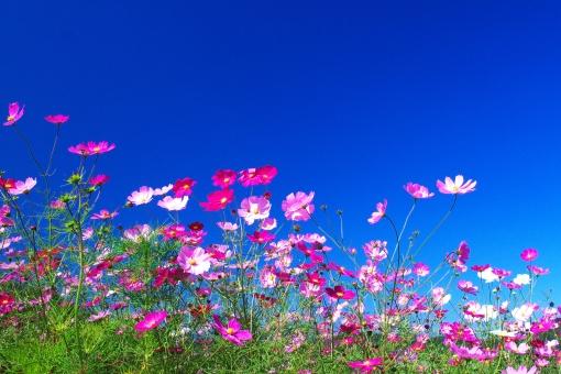 花 植物 自然 ピンク 明るい コスモス 満開 秋 風 さわやか 晴れ 風景 絶景 美しい 花畑 観光地 観光名所 鮮やか 華やか サク 咲く 好天 広大 雄大 広がり 丘 白 景観 観光客 有名 滝野すずらん アップ 白色 多彩 花びら きれい 癒し 接写 ソフト 青空 青 空 こすもす 秋桜 コスモス畑 畑