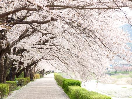 桜 サクラ さくら sakura 花 フラワー 花びら 春 四季 季節 満開 花見 日本 入学式 卒業式 新生活 入社 新入社員 鮮やか 明るい 華やか 美しい 綺麗 背景 壁紙 桜並木 素材 いっぱい