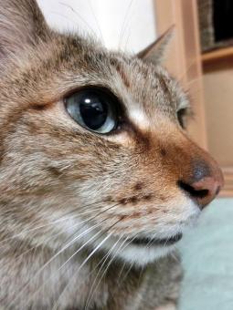 ネコ 猫 横顔 顔 表情 アップ ハンサム 見つめる 凛々しい ヒゲ 鼻 接写 1匹 眼差し まなざし 視線 家猫 飼い猫 室内猫 cat 可愛い かわいい 考え事 考え中 悩み事 悩む う~ん ちゃこ ペット 動物