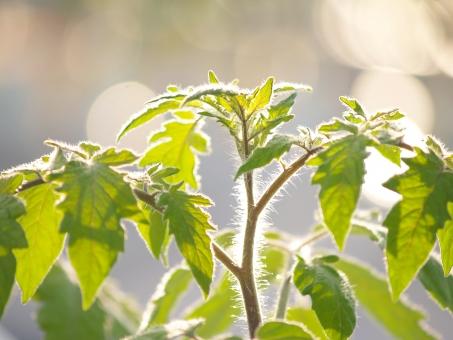 トマト とまと 農業 作物 育てる 育成 栽培 ハウス 露地 緑 葉 葉っぱ 毛 逆光 輝く 育つ 植物 園芸 圃場 産業 温室 ビニルハウス