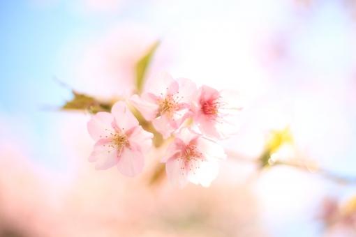 桜 さくら 櫻 サクラ 春 日本 植物 綺麗 美しい 花びら 緑 葉 花 ぼんやり ボケ かわいい 入学式 入学 入園 入園式 入社 入社式 青 ピンク