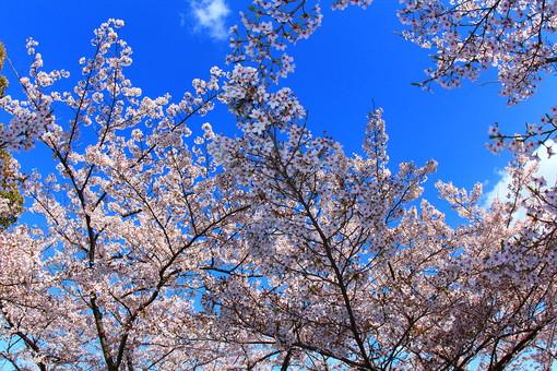 自然 環境 風景 景色 スナップ 旅行 植物 緑 木 花 植物園 公園 庭園 行楽 散歩 発見 小道 桜 春 日本 和風 小さい 人気 たくさん 群生 枝 枝分かれ 小枝 花見 宴会 満開 青空