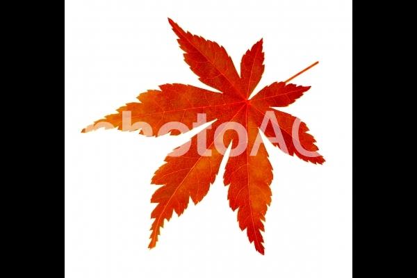 秋の紅葉したもみじと白背景の写真